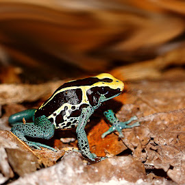 Bicolor frog by Gérard CHATENET - Animals Amphibians