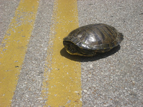 Photo: Later in the day, yet another turtle saved!