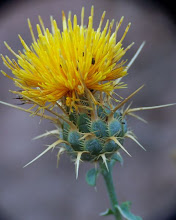 Photo: Centaurea ornata