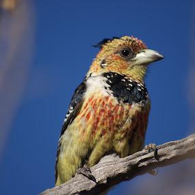 Crested Barbet by Amanda Kavanagh - Novices Only Wildlife ( bird, botswana, barbet, africa )