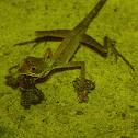 Sri Lanka Kangaroo Lizard