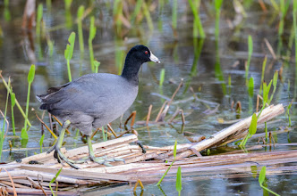Photo: Coot; Lake Woodruff NWR