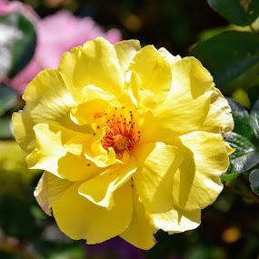yellow rose by Betty Taylor - Flowers Flower Gardens ( flowers, garden flowers, rose,  )