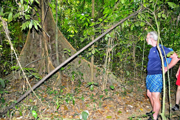 See big trees on the jungle trail