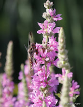 Photo: Common whitetail dragonfly, female?