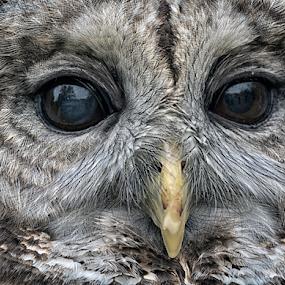 Who Owns The Night by Robert Fawcett - Animals Birds ( animals, nature, owl, birds, eyes,  )