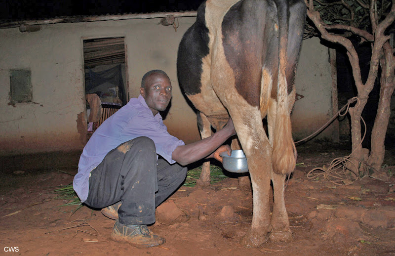 Photo: In Kakamega, Kenya, selling solar lamps is an exciting way for CWS Giving Hope youth to support themselves, their families and reduce fuel/energy costs for those that buy them.  Here, Hezekiah Musemi happily milks his cow outside his home at sunset using his new solar lamp. More: http://ow.ly/d9m1x