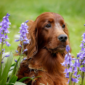 When bluebells ring there bells the wintery gloom dispels. by Ken Jarvis - Animals - Dogs Portraits ( dogs, irish setter, dog portrait, setter, irish )