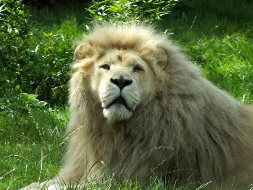 Lion blanc, Jurques - Tous droits réservés