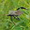 Leaf-Footed Bug (male)