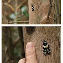 Eterusia aedea(female) 茶柄脈錦斑蛾(雌)