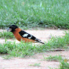 Black Grosbeak, male