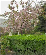 Photo: Cires japonez (Prunus Surrulata) - din Piata 1 Decembrie 1918 - 2018.04.17