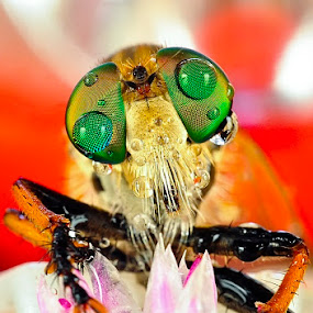 Pas Photo by Cibo Heriansyah - Animals Insects & Spiders ( macro, dew, insect, robber fly, close )