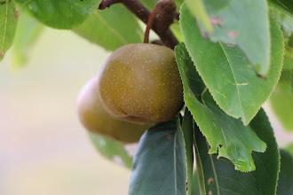 Photo: Fertile Asian Pear Tree