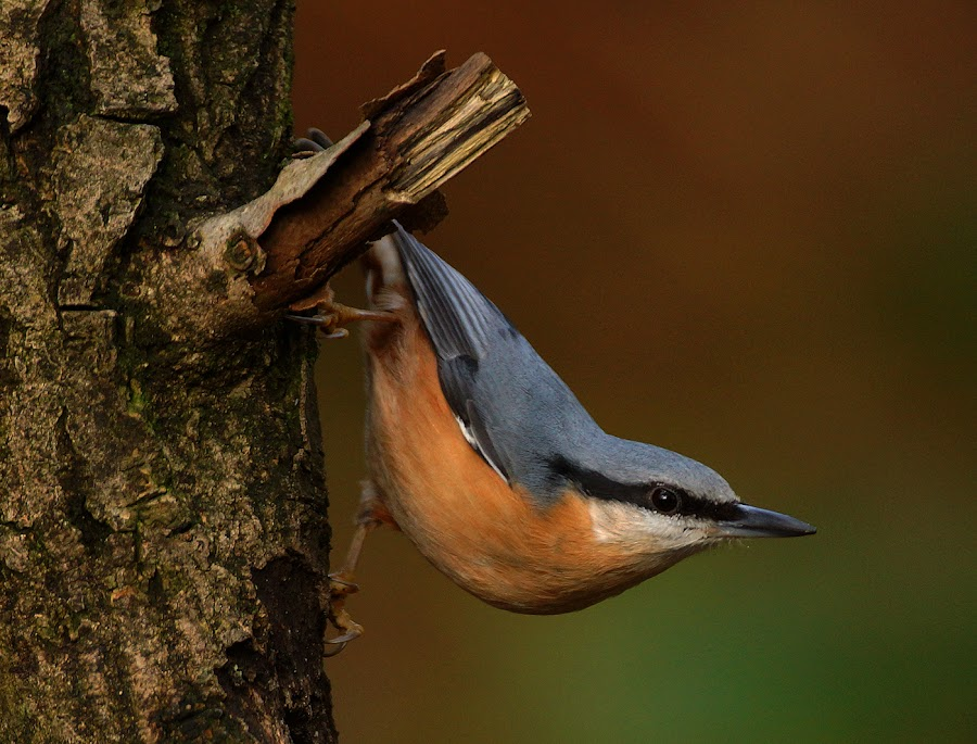 Nuthatch by Bob Rawlinson - Animals Birds ( hide town )