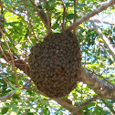 Honey bee (hive)