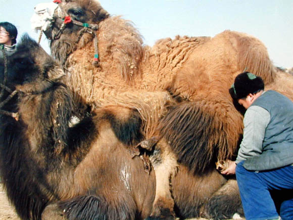 Semen collection from a male Bactrian camel using an artificial vagina.