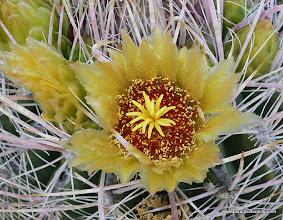 Photo: Barrel cactus blossom, Anza Borrego Desert