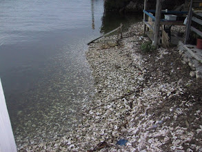 Photo: Old Posey Bar oyster midden. An archaeological site of the recent past which will last for thousands of years. St. Marks River, Florida.
