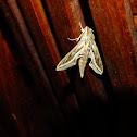 Silver lined hawk moth