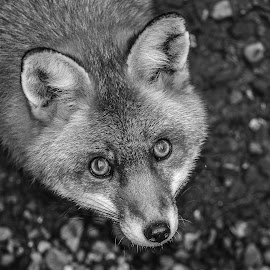 Foxy by Garry Chisholm - Black & White Animals ( garry chisholm, canid, nature, black and white, wildlife, red fox )