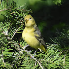 Western tanager (female)