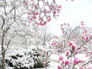 Photo: Snow on pink and white magnolias at Cox Arboretum in Dayton, Ohio.