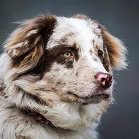 by Crazy  Photos - Animals - Dogs Portraits ( winter, beautiful, male, dog, astralian sheperd, aussie, animal )