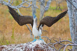 Photo: Blue-footed booby; North Seymour
