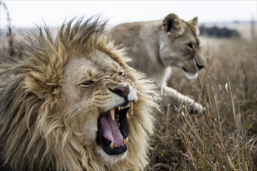 Environmental NGO slams the country's decision to export 1'500 lion skeletons.