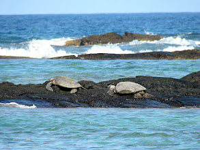 Photo: Green Sea Turtles on the South Kohala Coast of the Big Island