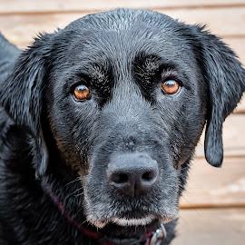 Perth by Dave Lipchen - Animals - Dogs Portraits ( black lab )