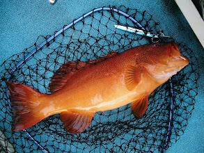 Photo: 船頭さんの釣った赤いハタです。 名前を教えてください!