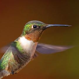 Ruby Throated Hummingbird by Anthony Goldman - Animals Birds ( bird, flight, wild, valricoflorida, wings, florida, hummingbird, male, ruby throated, wildlife, valrico,  )