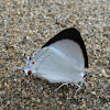 Azure Hairstreak