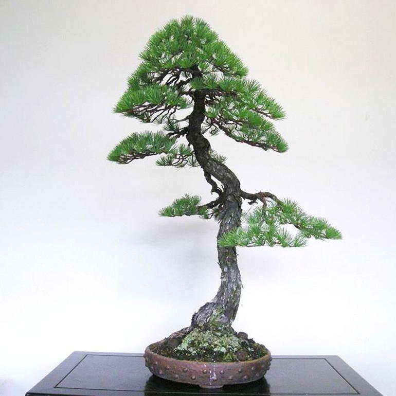 bonsai modelo bunjingi'