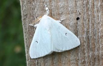 Photo: ARCTORNIS L-NIGRUM      Lepidoptera > Erebidae
