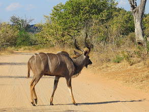 Photo: Kudu- the second largest antelope in Africa, only to the eland