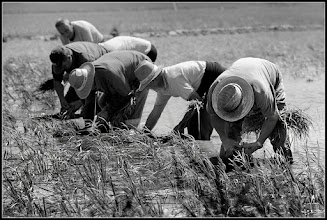 Photo: Planting rice. This photo was taken last Sunday. here is very difficult to find farmers planting rice by hand. My contribution to: #breakfastclub +Breakfast Clubby +Gemma Costa #breakfastartclub +Breakfast Art Clubby +Kate Church #plusphotoextract by +Jarek Klimek