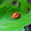 Asian ladybeetle pupae