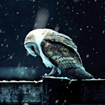 Hedwig Live Wallpaper Icon