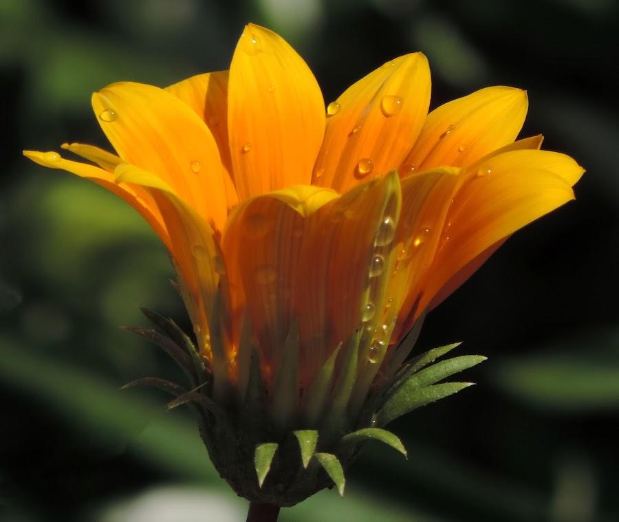 by Mohamed Habib - Flowers Single Flower (  )
