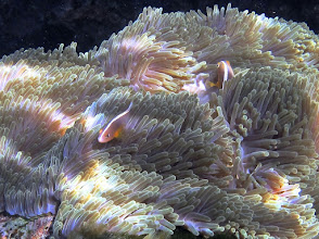 Photo: lined skunk anemonefish