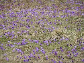Photo: B3310009 krokusy i nie tylko w Dolinie Chochołowskiej