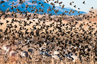 Photo: Red-winged black birds sharing in the feast