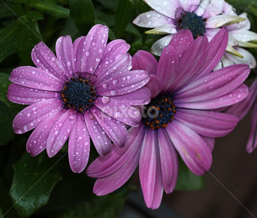 by Dipali S - Flowers Flower Arangements ( osteospermum, nature, purple, botany, flora, daisy, flower )