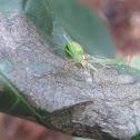 Araña verde saltadora.