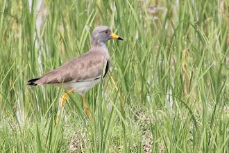 Photo: Gray-headed Lapwing