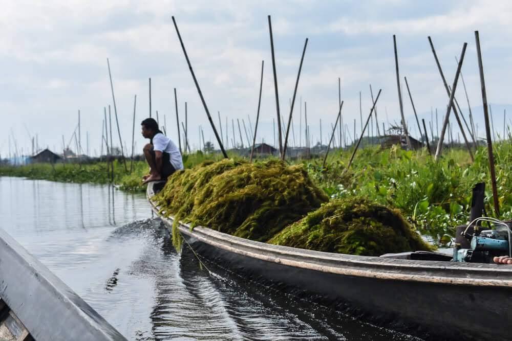 man+carrying+reed+lago+inle+myanmar